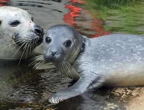 Puma- und Seehunde-Nachwuchs im Saarbrücker Zoo