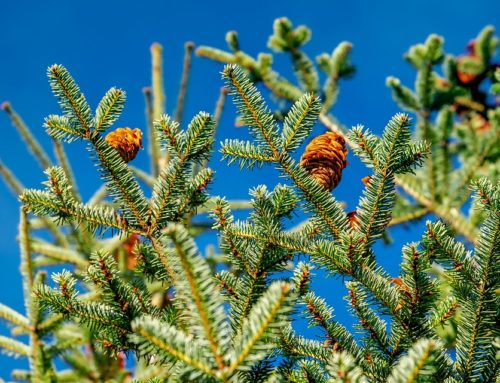 Verkauf von Weihnachtsbäumen in der Adventszeit ab 10. Dezember